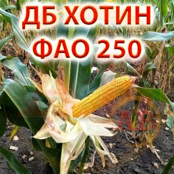 Семена кукурузы ХОТИН ДБ 250